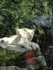 Nikita et les Lionnceaux
