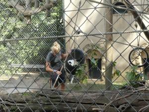 Charlotte qui nettoie l'enclos des Colobes