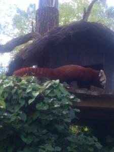 YANG le panda roux